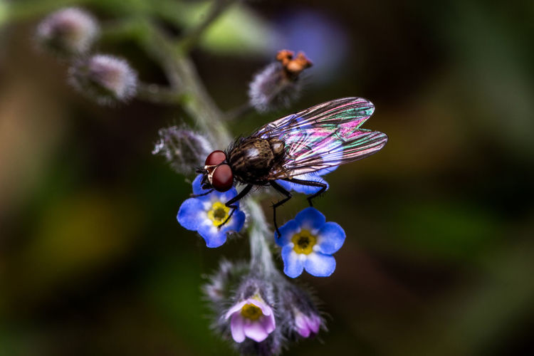 Una delle tantissime razze di mosca. One of the many fly races. Beauty In Nature Canon 600D + Tamron 90 2.8 Close-up Close-up Shot Day Eye4photography  EyeEm Best Edits EyeEm Best Shots EyeEm Best Shots - Nature EyeEm Gallery EyeEm Nature Collection EyeEm Nature Lover Eyem Masterclass Flower Fragility Freshness Insect Macro Macro Photography Macro_collection Nature Nature Photography Nature_collection No People