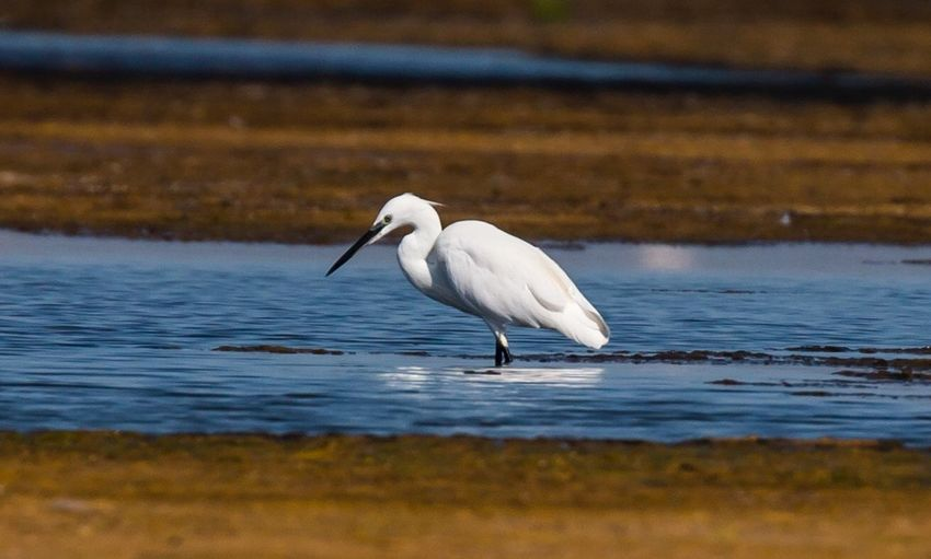 Snowy Egret On River