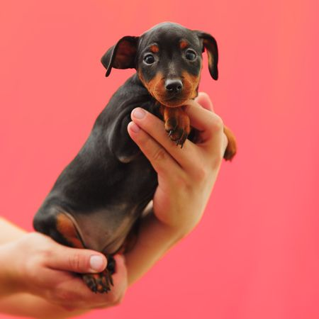 Dog Pets Human Hand One Animal Domestic Animals Holding Mammal Puppy Animal Themes Human Body Part One Person Real People Studio Shot Young Animal Lifestyles Friendship Portrait Boston Terrier Day People Zwergpinscher