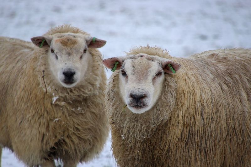 Sheep in the snow Mammal Animal Themes Animal Group Of Animals Livestock Pets Domestic Animals Sheep Two Animals Portrait Livestock Tag Focus On Foreground Herbivorous Nature Snow