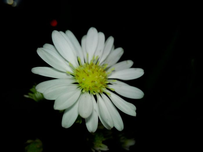 Whiteflower Single Flower In Bloom Blossom White Color Blooming Growth Nature In The Night Outdoors Nature Beauty In Nature Black Background Scenics Flower Head Flower Huawei Shots Huawei Y5