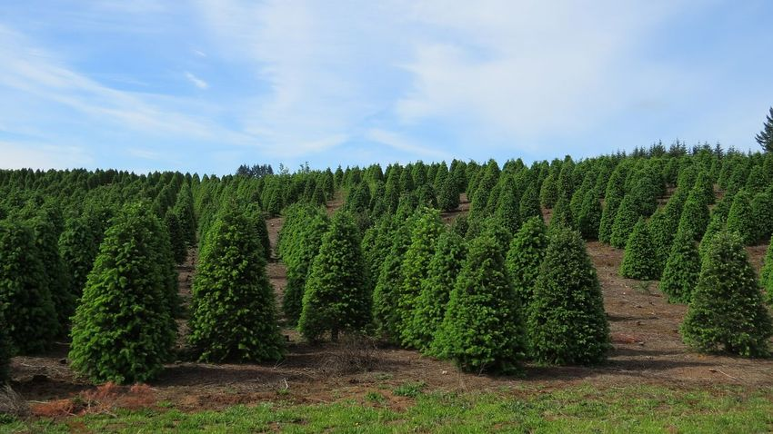 Agriculture Growth In A Row Field Nature No People Outdoors Tree Landscape Green Color Beauty In Nature Christmas Tree Farm Tree Farm Oregons Beauty Oregon Natural Beauty Fir Trees Tree Trees And Sky
