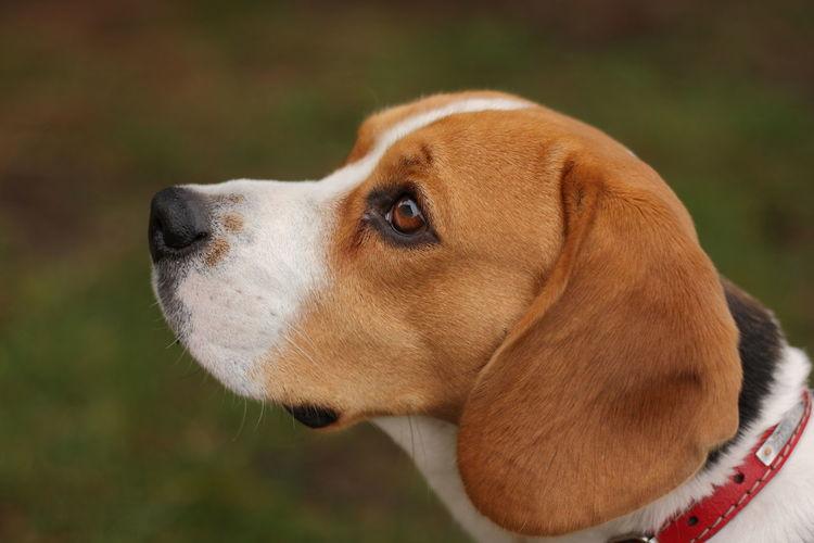 beagle Animal