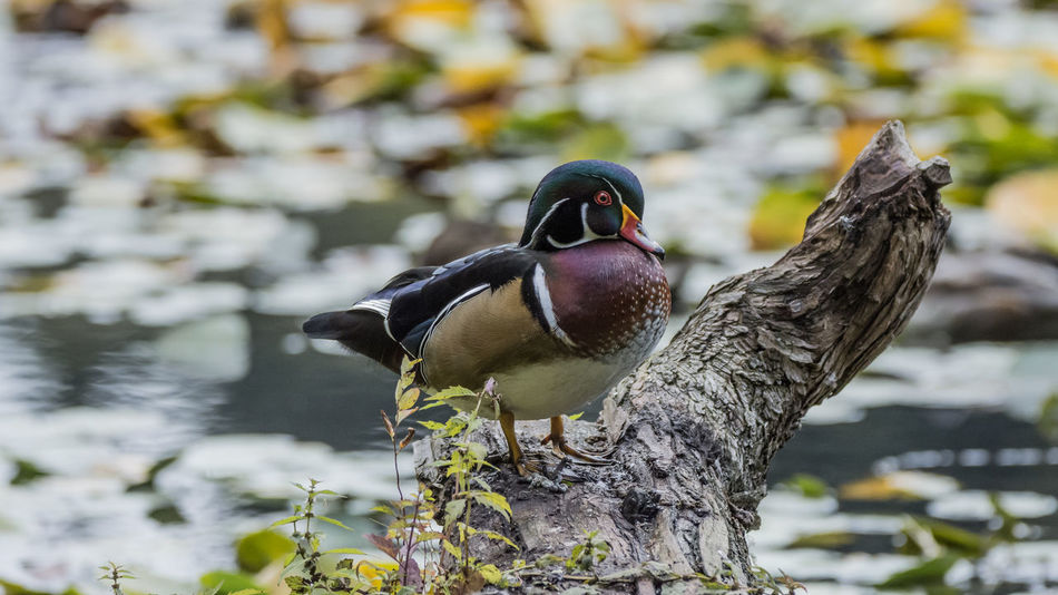 A beautiful male wood-duck showing all his colors. His artificial colors make fall even more colorful. Woodduck Colorful Fall Canada British Columbia Travel Photography EyeEm Best Shots Wildlife Nikon Sigma Lakeview Nature Animal Cute Bird Water