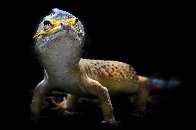 Lemon frost gecko shed its skin, all shedding process captured, amazing animal reptile photo series