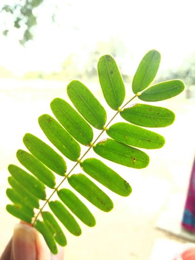 Tamarind tree leaves Leaf Green Color Plant Close-up Growth Nature Freshness Beauty In Nature Outdoors Sky Day Smartphonephotography OnePlusX RBK Tamarind Tree Tamarind Leaves