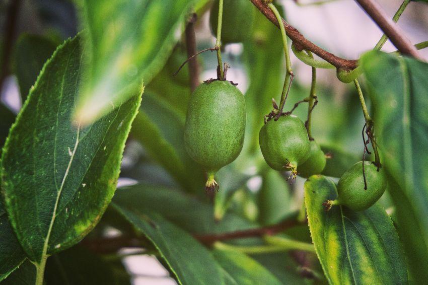 Healthy Eating Kiwi Fruit Actinidia