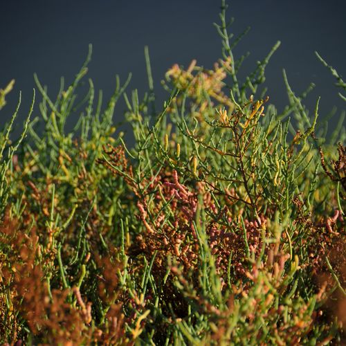 Beauty In Nature Close-up Day Green Color Growth Nature No People Outdoors Plant Salicornes Salicornia