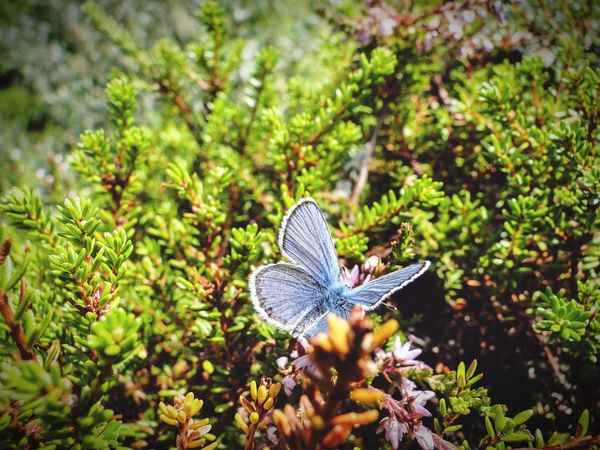 Klaquax_Norway Nature Growth One Animal Animal Themes Beauty In Nature Beauty In Nature Eye4photography  Norway Norway Nature Blue Butterfly Travel Photography Travel Close-up Plant Insect Outdoors Animals In The Wild
