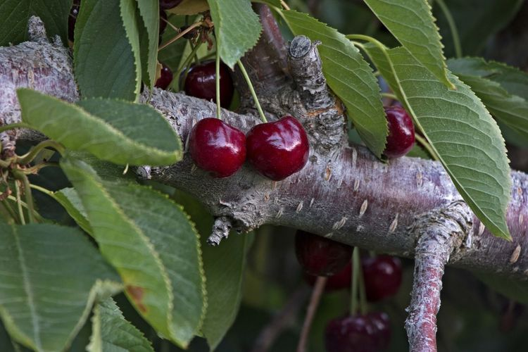 Food And Drink Leaf Red Fruit Freshness Green Color Close-up Healthy Eating No People Food Growth Nature Cherry Cherries Cherry Tree Fruit Tree Tree Organic Organic Food Sweet Sweet Food Taste Orchard Tasty Delicious Food Stories