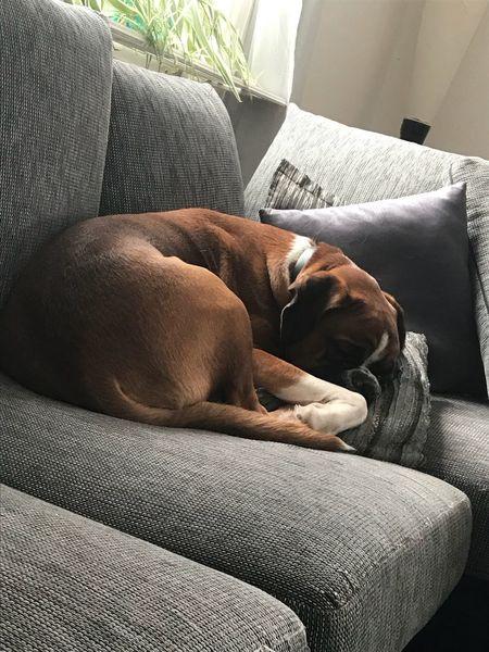 Sofa One Animal Pets Animal Themes Dog Domestic Animals Indoors