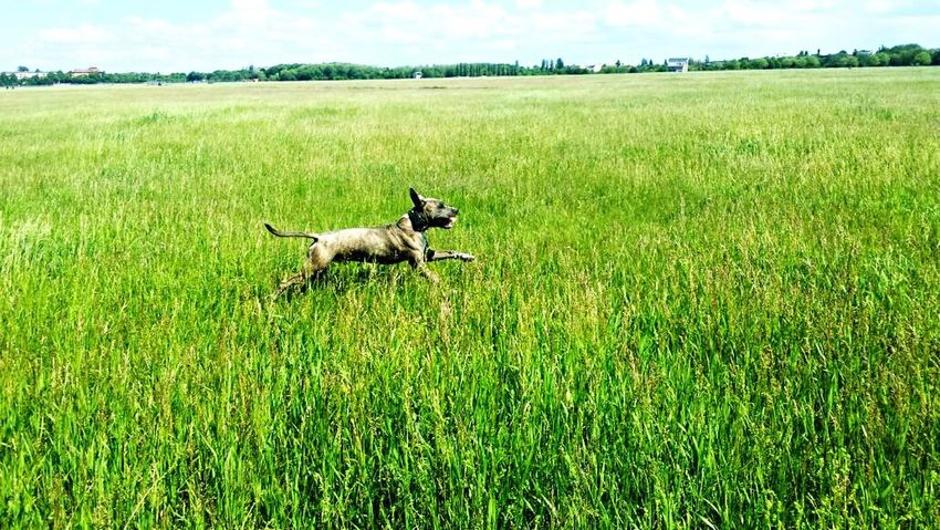 Capturing Freedom Taking Photos Hello World Relaxing Enjoying Life Freedom Green Pitbull Running Free Khalchen 💋
