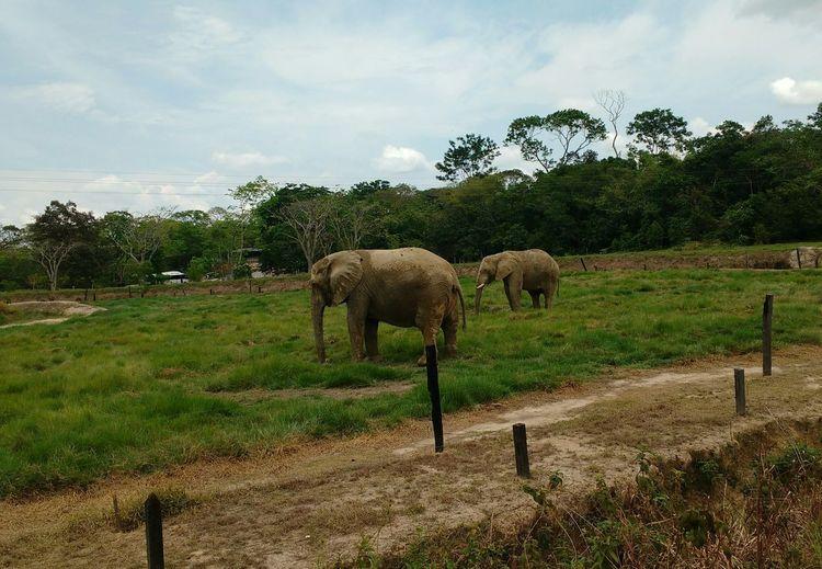 #photography #elephant  #elefante Mammal Animal Themes Animal Plant Domestic Animals Sky Vertebrate Nature Group Of Animals