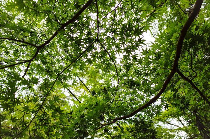 もみじ Green 新緑