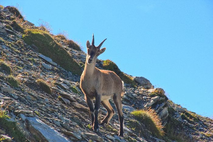 Fine Art Photography Ibex Ibex On A Rock Animal Animal Themes Animals In The Wild Animals Animal Photography Wildlife Hiking Hiking Trail Hiking Day Summer Connection Chance Chance Encounter Eyes Eyes Watching You Attention Attentive Liechtenstein Steinbock Showcase July