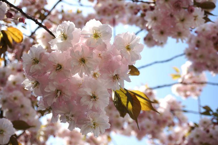EyeEm Selects Flower Head Tree Flower Branch Springtime Pink Color Blossom Petal Plum Blossom Close-up