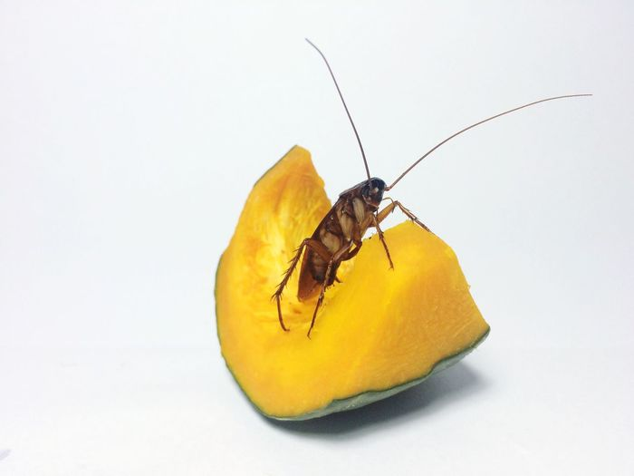 Close-up of cockroach on cantaloupe