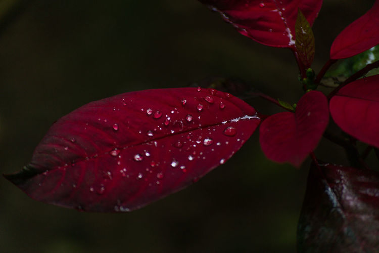 Red Nature Petal Close-up Water Flower Outdoors Beauty In Nature Poinsettias übermensch The Eyeem Philippines Droplets, Water Droplets, Flowers  Droplets Collection Yard Flower