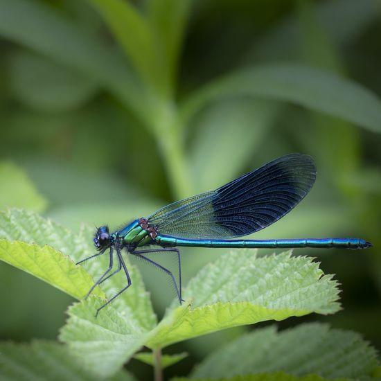 blue demoiselle