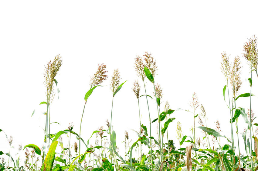 Beauty In Nature Bicolor Clear Sky Close-up Day Field Freshness Grass Green Color Growth Low Angle View Nature No People Outdoors Plant Sky Sorghum Sorghum Bicolor White Background