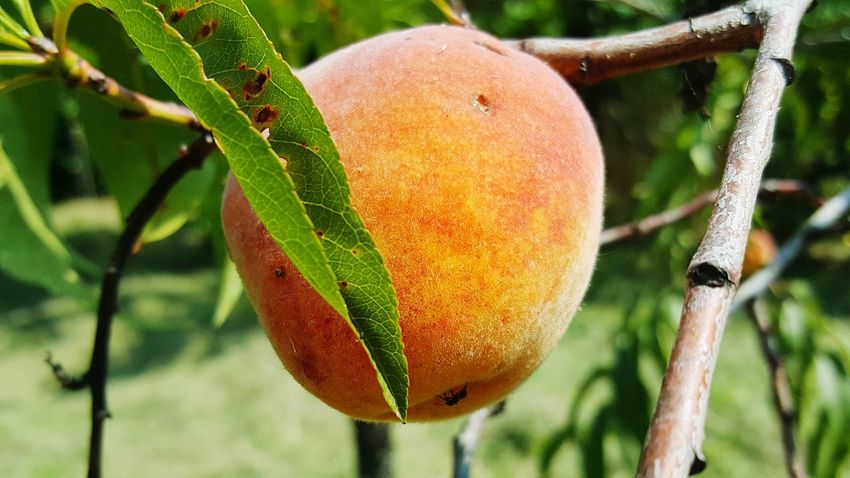 Peach Blossom Peach Tree Peaches🍑 Pesca EyeEm Gallery Eye Em Nature Lover Summer Road Tripping Tree Fruit Agriculture Branch Hanging Leaf Citrus Fruit Close-up Food And Drink Fruit Tree Vitamin C Juicy