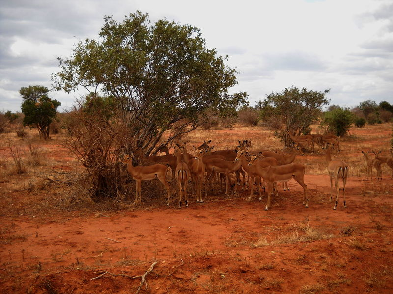 Animal Themes Animals In The Wild Arid Climate Gazelle Group Of Animals Kenya No People Red Earth Tranquil Scene Tsavo Wildlife Zoology