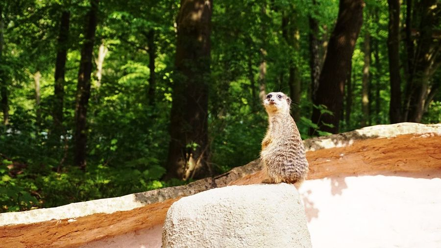 Zoo Animals  Meerkat Animal Themes Animal Animal Wildlife Tree One Animal Animals In The Wild Nature Mammal Land Looking No People Rock - Object Outdoors Day