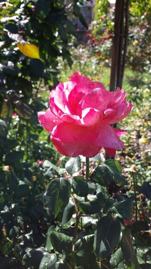 Jardin De Cybele Vienne Roses