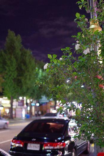 花と車と曇り空 / calm night in Seoul, Korea Car City Life Night ムクゲ ムグンファ 西村 무궁화 서촌