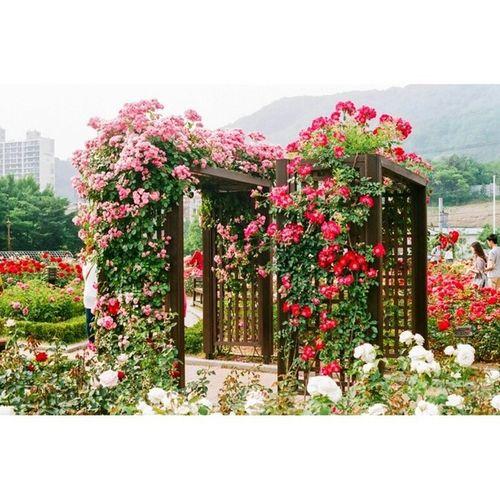 대구 이곡동 장미공원 일상 스냅 풍경 꽃