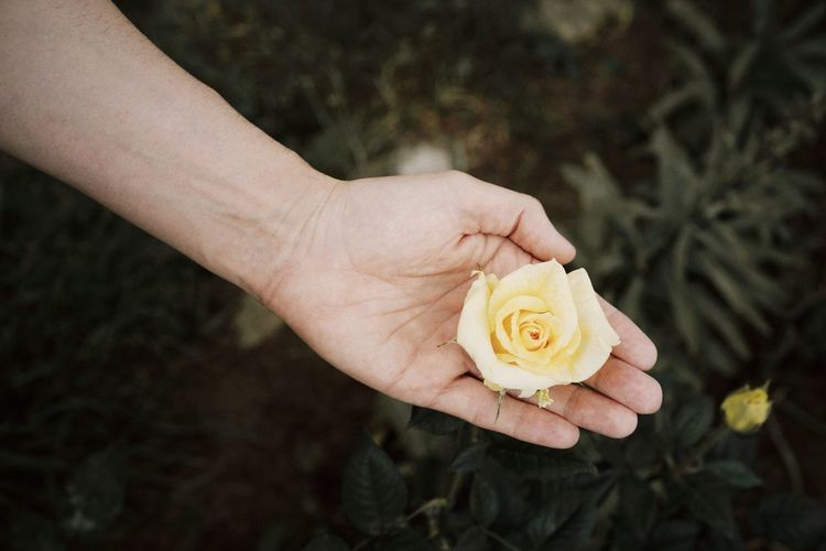 Cropped Hand Of Woman Holding Yellow Rose