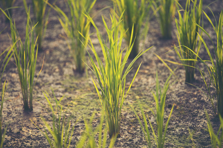 Close-up of crops growing on agricultural field