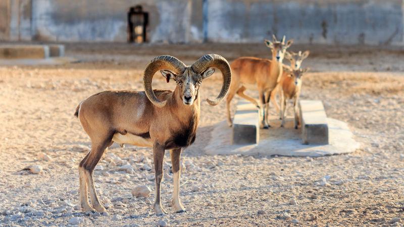 Aries EyeEm Best Shots EyeEm Nature Lover EyeEm New Here Mountain Sheep Wildlife Conservation Animal Themes Animals Fauna Horned Horned Animals Laristan Mammal Nature No People Outdoors Sheep Wild Sheep