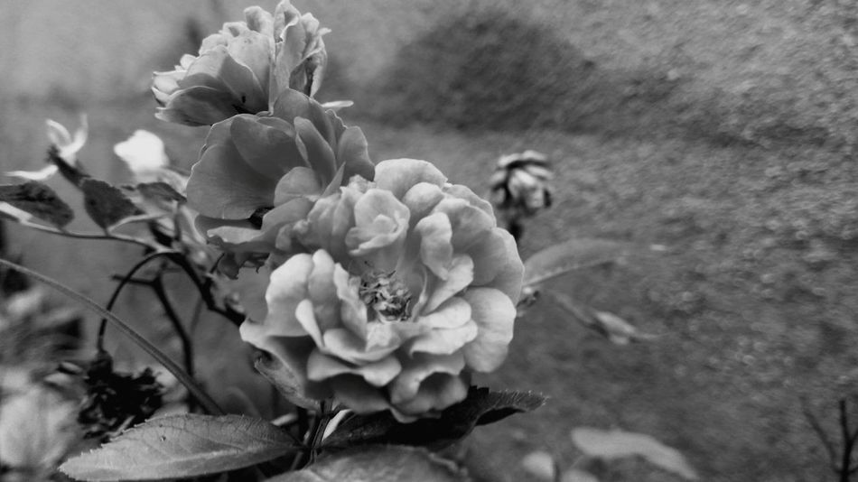 Flower Plant Petal Flower Head Close-up Freshness Beauty In Nature Growth Outdoors Day Nature Black&white EyeEmNewHere EyeEm Best Shots EyeEmBestPics EyeEmBestEdits EyeEmbestshots Eye Em Nature Lover EyeEm Best Shots - Nature EyeEm Best Edits EyeEm Selects EyeEmNewHere.