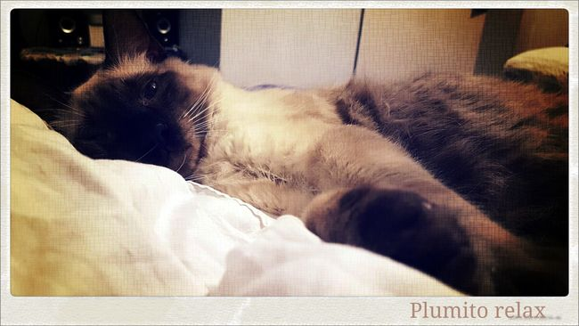 Plumito Relax BuenLunes Auto Post Production Filter Cat Cats Siamese Cat Bed Bedroom Bedtime Animal Animal Themes Relaxing Relax