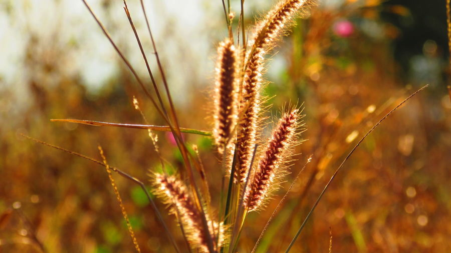 Close-Up Of Foxtail Barley Growing Outdoors