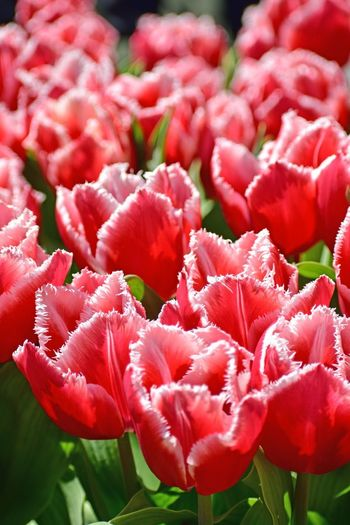 Flowers Pink Tulips Flowers,Plants & Garden Flowers Pink Tulips Dallasfringedtulip Dallas Fringed Tulips Flower Flowering Plant Freshness Plant Beauty In Nature Fragility Vulnerability  Inflorescence Close-up Nature No People Tulip Full Frame Growth Petal Vibrant Color Springtime