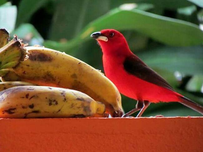 Tiê Bird Cananeia Antility Red