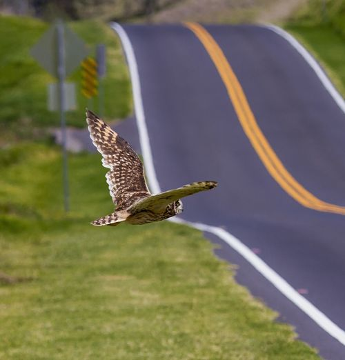 Pueo in flight Hawaii Road Animal Themes Animal Wildlife Animals In The Wild Beauty In Nature Bird Bird In Flight Bird Of Prey Close-up Day Flying Focus On Foreground Mid-air Motion Nature No People One Animal Outdoors Owl Pueo Short Eared Owl Spread Wings
