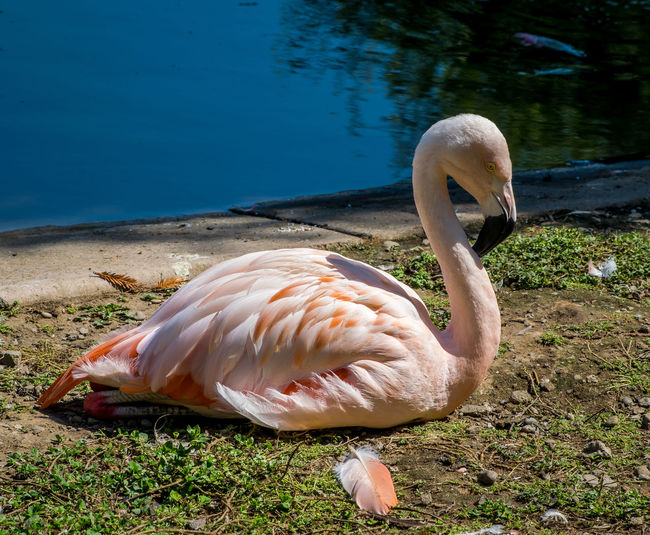 Close-up of flamingo at lakeshore