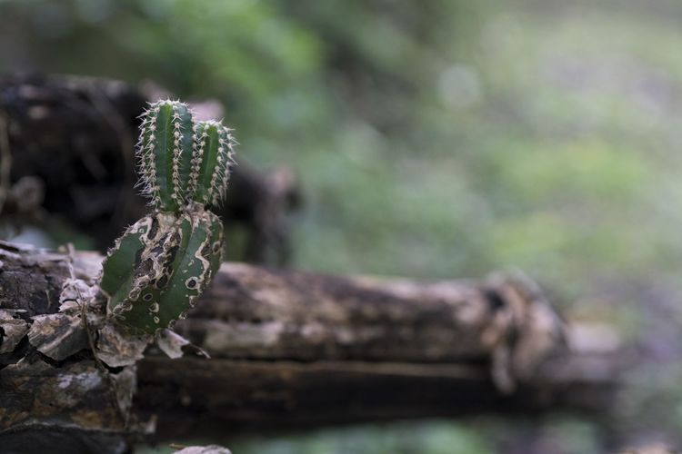 A small cactus grows on the trunk of a dead cactus. Cactus Teremendo Beauty In Nature Branch Close-up Day Focus On Foreground Forest Green Color Growth Land Lichen Moss Nature No People Outdoors Plant Selective Focus Timber Tranquility Tree Wood - Material