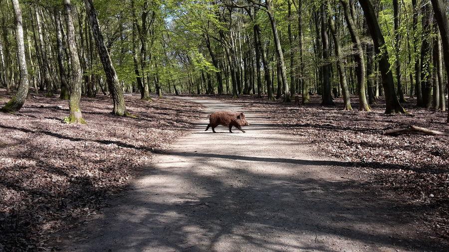 Wild boar crossing road in forest