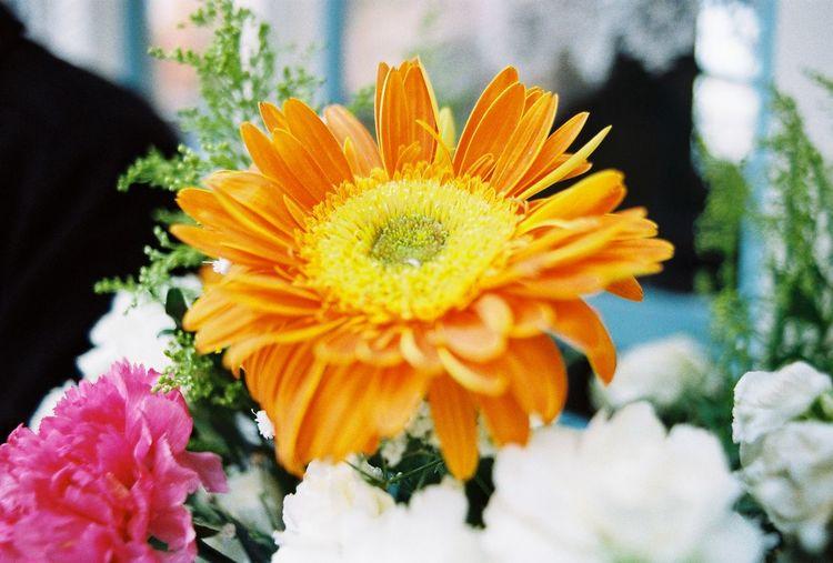 Close-up of gerbera daisy blooming outdoors