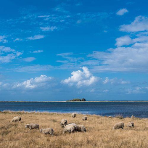 Sheep on Island