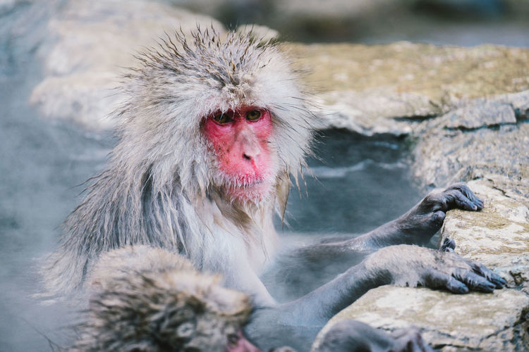 Japanese Snow Monkeys (macaques) onsen in the natural hot spring in Nagano, Japan. Red face, Feel Relax. Ape Bath Faces Of EyeEm Feeling Hot Japan Nagano, Japan Nature Onsen Pond Red Winter Animal Animal Themes Cold Temperature Face Hot Spring Japanese Macaque Mammal Monkey Primate Relax Snow Vertebrate Water