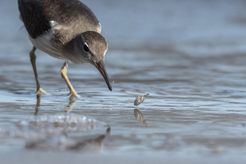 Curious young spotted sand piper hunts for breakfast on an early morning in Costa Rica Animal Wildlife Bird Animals In The Wild Vertebrate One Animal Water Selective Focus No People Nature Hunting Day Sea Animals Hunting Reflection Survival Animal Body Part Surface Level Seagull