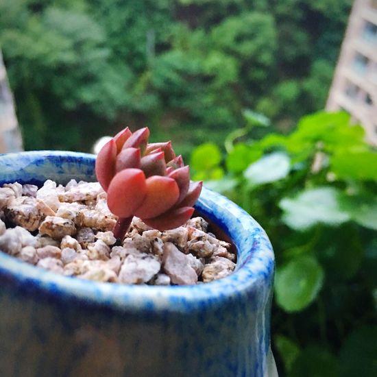 红宝石Sedeveria pink ruby
