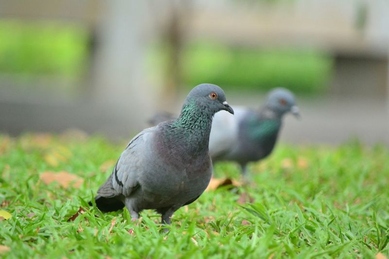 Close-up of pigeon perching on a field