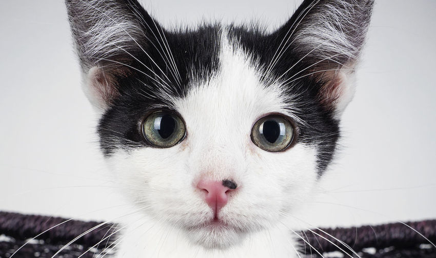 Padfoot the kitten Pet Portraits Animal Themes Black And White Close-up Domestic Animals Domestic Cat Feline Indoors  Kitten Looking At Camera Mammal No People One Animal Pets Portrait Whisker
