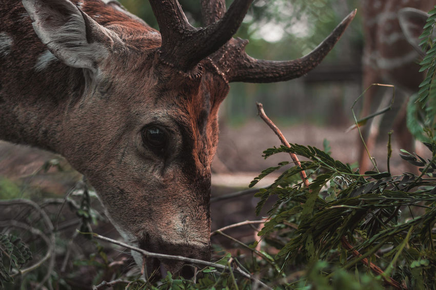 This guy licked my hand ... Travel Karnataka Lush Nature Wild Raw Travel Destinations Selective Focus Animal Themes Wildlife Wildlife & Nature Coorg Close-up Low Angle View Earth Ground Tree Portrait Eating Close-up Deer Antler Hoofed Mammal Herbivorous Grazing Animal Eye Fawn Animal Skull Stag Horned The Traveler - 2018 EyeEm Awards The Portraitist - 2018 EyeEm Awards